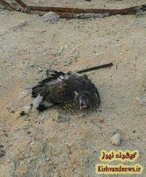 عقاب زخمی محیط زیست