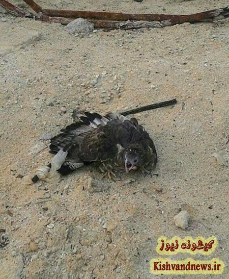 یک پهله عقاب کمیاب زخمی تحویل محیط زیست جزیره کیش گردید + تصویر