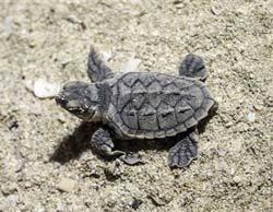 فیلم | تولد لاکپشتهای پوزه عقابی در سایت محیط زیست کیش