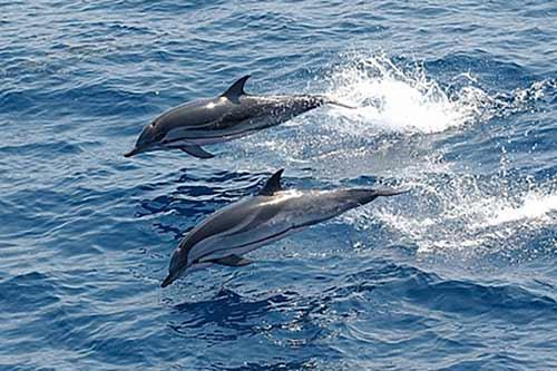 ویدئو | حضور دلفینها در آبهای کیش