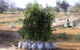 توزیع نهال رایگان بین کیشوندان در روز درختکاری
