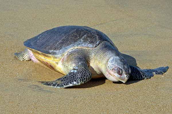 رهاسازی دو لاکپشت سبز و پوزه عقابی در دریا پس از درمان + فیلم