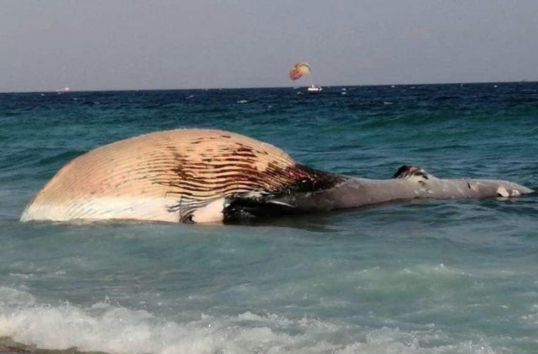 لاشه نهنگ ماده در ساحل دفن شد + تصاویر