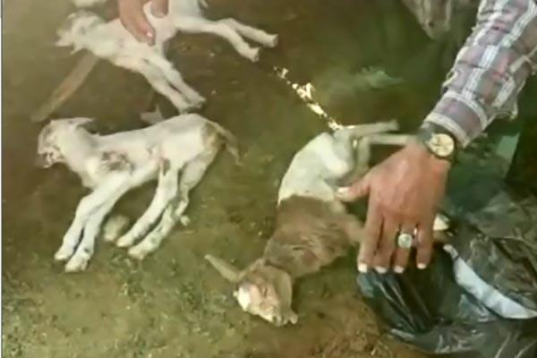 فیلم | قتل عام بزغالهها بهدست کلاغها