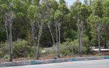 کنوکارپوس؛ درختان همیشه سبزی که تهدید زیر ساختهای شهری شدند