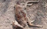 کشتار آهوان کیش توسط سگهای ولگرد + تصاویر
